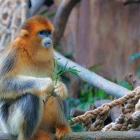 Золотая курносая обезьяна :: Анатолий Иргл