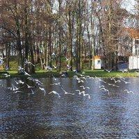 Чайки периодически, словно по команде, дружно взлетают над озером :: Маргарита Батырева