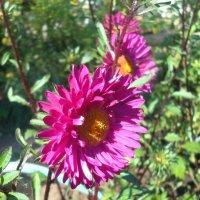 Дачные астроцветы :: Стас Борискин (Stanisbor)