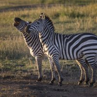 Две зебры в саванне :: Ольга Петруша