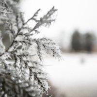 Веточка в снегу :: Valentina Zaytseva