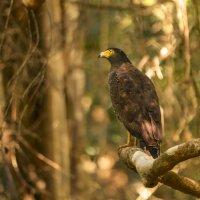 Африканский орел :: Ольга Петруша