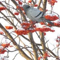 Ягодный голубь :: Любовь Иванова