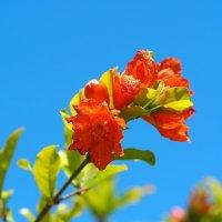 Цветет гранат :: Swetlana V