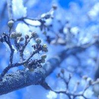 кизил зацветает! :: Дина Дробина