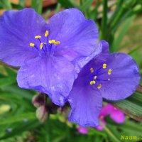 Зацветают цветы на наших страницах.Голубенькие :: Лидия (naum.lidiya)