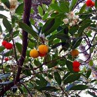 Клубничное дерево или Кудрания :: Tata Wolf