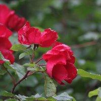 просто розы :: mirtine