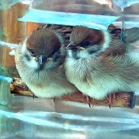 двойняшки :: linnud