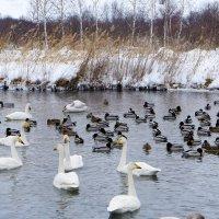 Лебединое озеро... :: Светлана Игнатьева