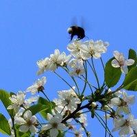 Вишня цветёт. :: Валентина ツ ღ✿ღ