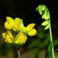 Полевые цветы (душистый горошек) :: Милешкин Владимир Алексеевич