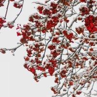 Рябина в снежном сахаре . :: Андрей Якимюк