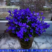 Синие колокольчики :: Nina Yudicheva