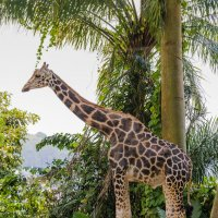 Жираф, Сингапурский зоопарк. :: Edward J.Berelet