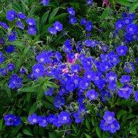 Полевые цветы (вероника) :: Милешкин Владимир Алексеевич