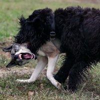 Чупакабра напала на волка :: Анатолий Шулков
