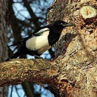 На дерево сорока взгромоздясь ... :: Alexander Andronik