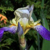 Прелестный цветок ириса :: Фотогруппа Весна.