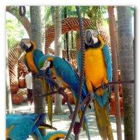 Голубые ара. :: Чария Зоя