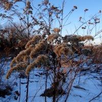 Зимние травы.. :: Антонина Гугаева