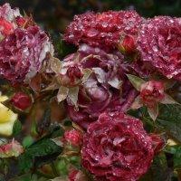 Дожди... и розы. :: Вячеслав Медведев