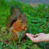 Лакомство для милой белочки... :: Sergey Gordoff