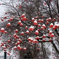 Рябина под снегом :: °•●Елена●•° ♀