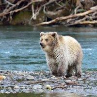 Не очень бурый медвежонок. :: Елена Савчук