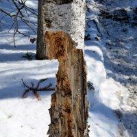 Сибирские дятлы настолько суровы...  (2) :: © ГраВИ