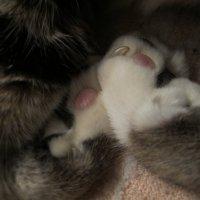 Кошка, детально :: Ирина Хан