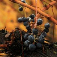 Виноградник после дождя :: Катя Чупахина