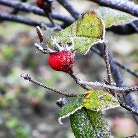 Красная ягодка в изморози :: Маргарита Батырева