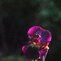 В пурпурных тонах. Study in purple. :: Юрий Воронов