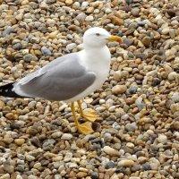 Серебристая чайка :: Swetlana V