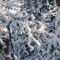 Снег на ветках :: Леонид Никитин