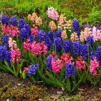 Разноцветные гиацинты :: Сергей Карачин