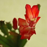 Цветок декабриста :: Светлана