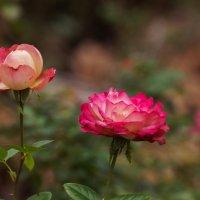 Поздние розы :: Павел Руденко