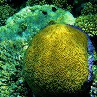 Коралл-мозговик... :: Sergey Gordoff