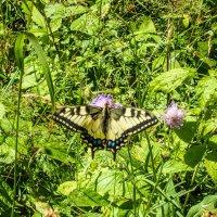 Большой, красивый махаон в оправе красочного лета! :: Александр Куканов (Лотошинский)