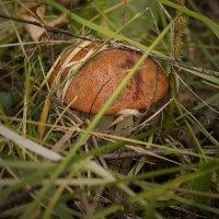 грибочки :: николай дубовцев