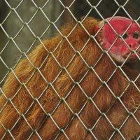 красноголовая обезьяна (cacajao) Перу. Амазония. Зоопарк Икитос. :: Svetlana Plasentsiia