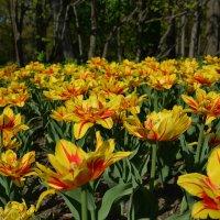 Цветики-семицветики :: Сергей Клюев
