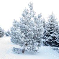 Снегом украшена :: Anna Chepkova