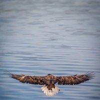 белохвостый орлан ,Владивосток,8 января 2018 :: Олег Семенов