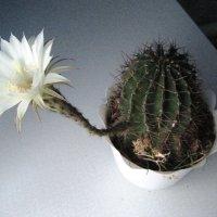 Цветение кактуса... :: Татьяна Котельникова