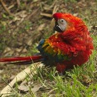 красный ара  Перу. Амазония. Зоопарк Икитос. :: Svetlana Plasentsiia