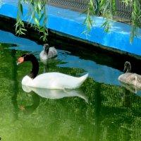 Семейка черношейных лебедей :: Нина Бутко