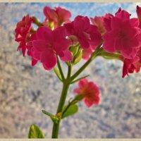 Цветущий в январе :: OLLES